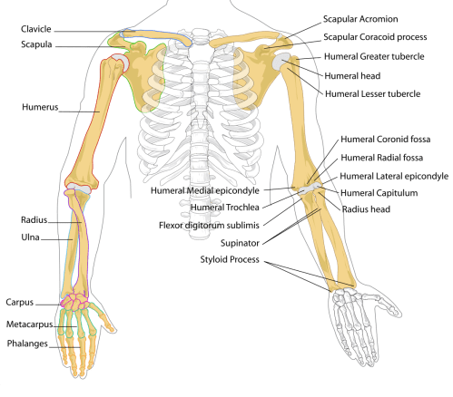small resolution of femur drawing labelled diagram file human arm bones