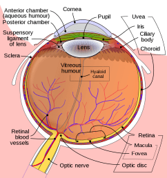 mouse svg schematic eye wikipedia [ 1200 x 1220 Pixel ]