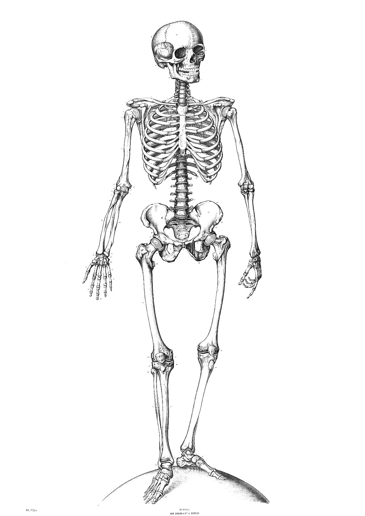 hight resolution of skeleton clipart bone structure human skeletal system free