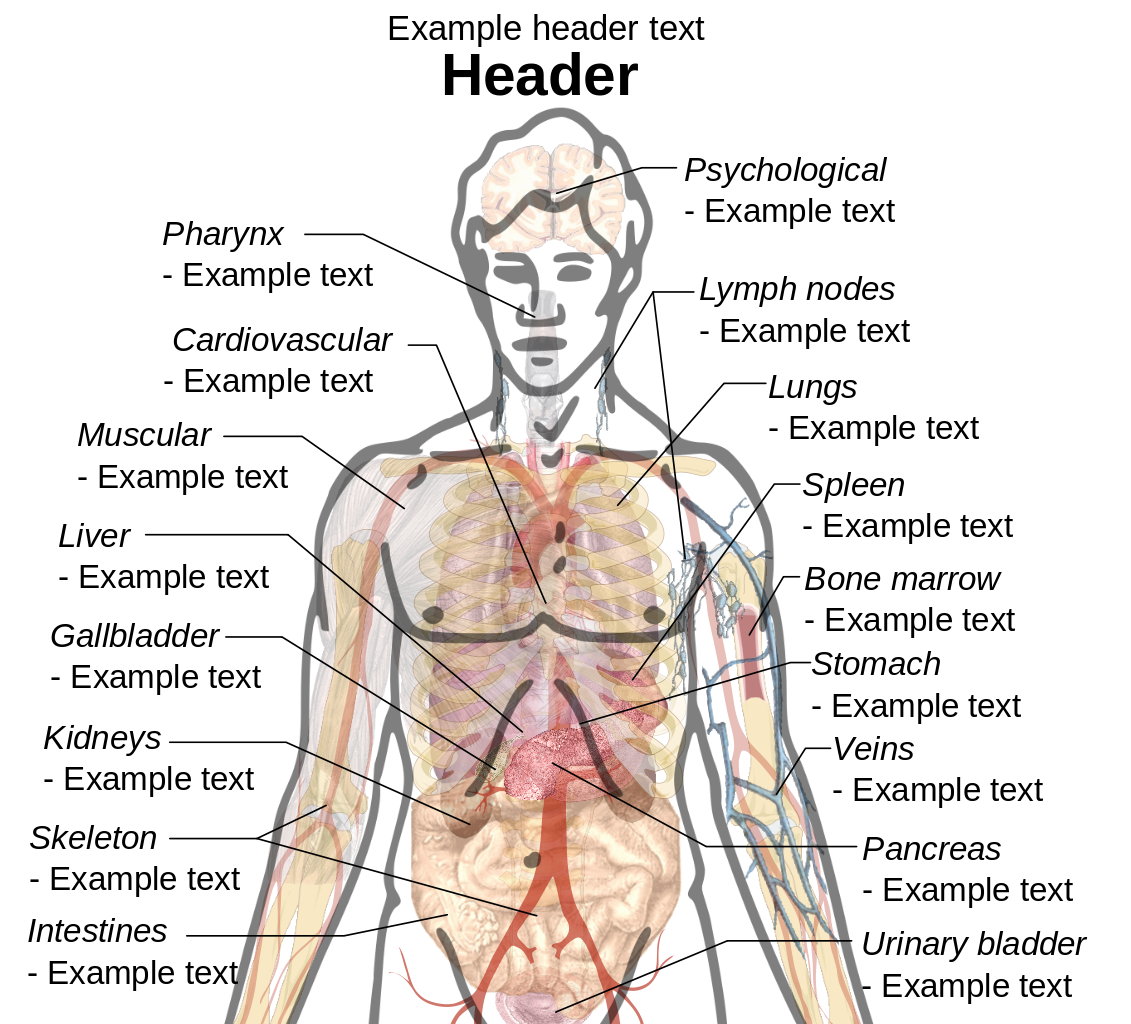 hight resolution of transparent muscles body diagram file adult male template