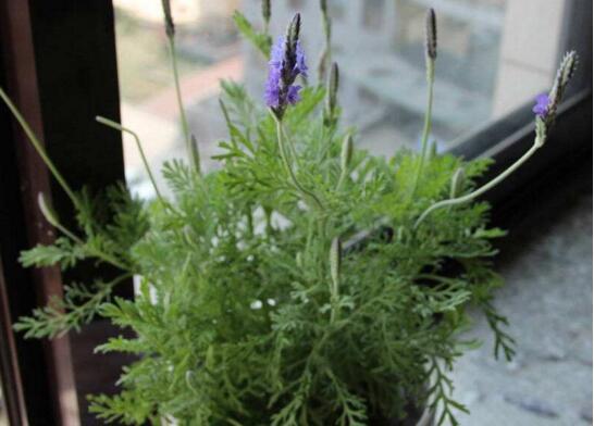 薰衣草的種植方法全過程,詳解播種與扦插的繁殖步驟