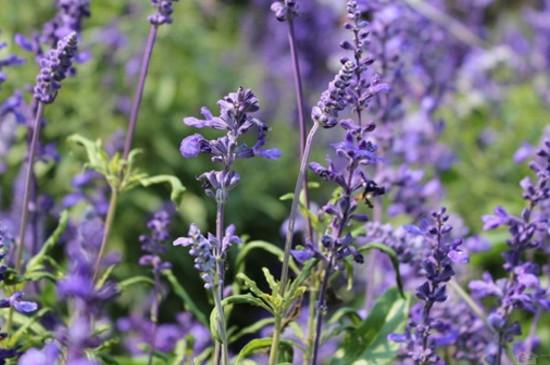 薰衣草與鼠尾草的區別。薰衣草香味淡雅鼠尾草比較刺鼻