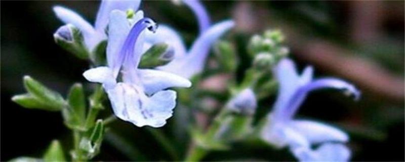 迷迭香_迷迭香的功效與作用_迷迭香花語_迷迭香花期_迷迭香圖片_植物之家