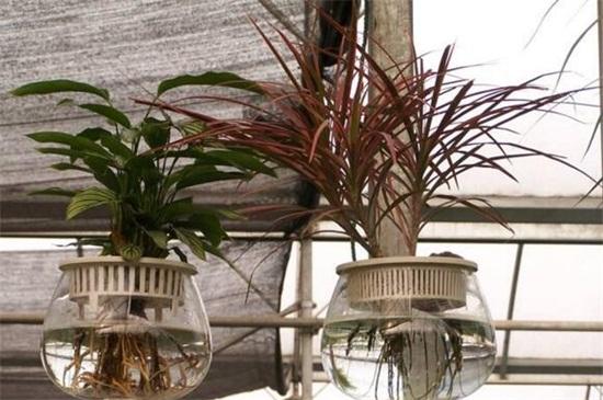 適合水養的室內植物花