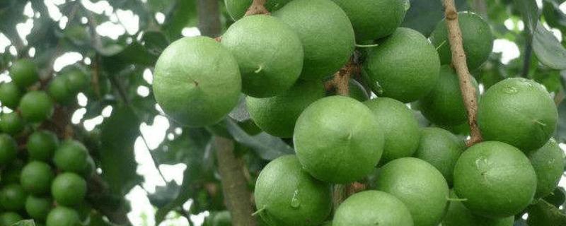 夏威夷果樹中國哪里有