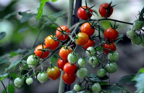 小番茄是轉基因的嗎:不是。它是通過雜交育種優選出來的品種
