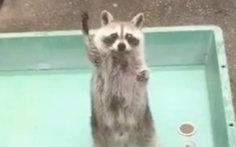 还记得那只在游客投食的时候,会把手举高高的干脆面么