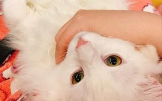 【挪威森林猫】睡前做点什么好?关于猫能蹦多高的研讨会
