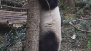 【大熊猫九九】20191022,手机相机都准备好拍熊家上树了?那熊家不爬了