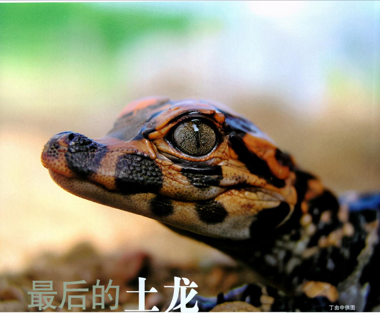 湿地国宝扬子鳄-小柚妹站
