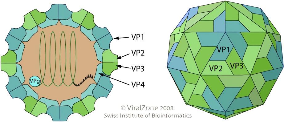 最常見的RNA病毒——鼻病毒 - 嗶哩嗶哩