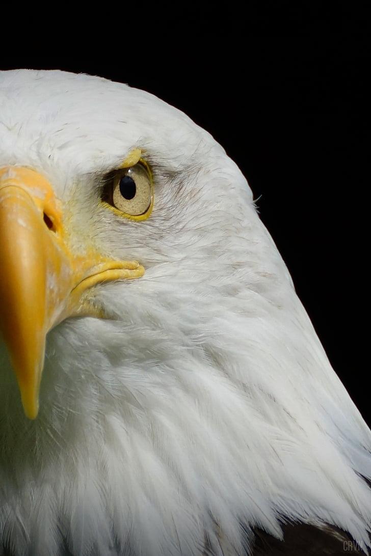 Eagle Talon Bird : eagle, talon, Photo:, Eagle,, Talon,, Barth,, Beard,, Baguio,, Hippopx