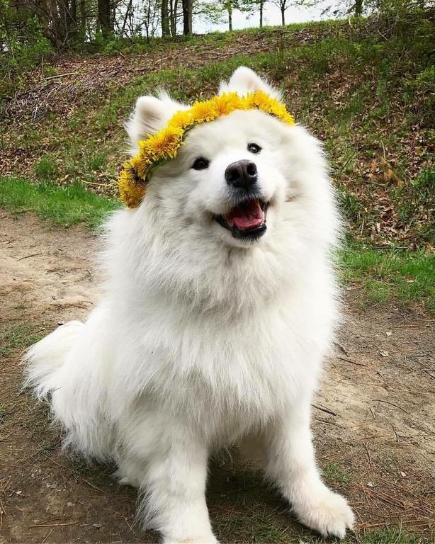 Cute Fluffy Dogs Wallpaper Lana Del Shoober Shoob Know Your Meme