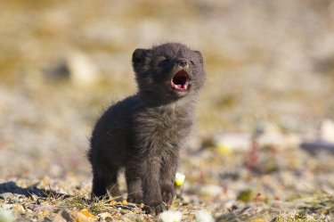wolf pup cute animals fox arctic baby pups adorable wolves meme cutest animal tiger reddit random