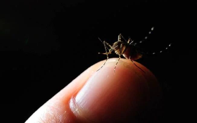 Zika vírus é transmitido pelo mosquito Aedes aegypti, vetor também da dengue e chikungunya
