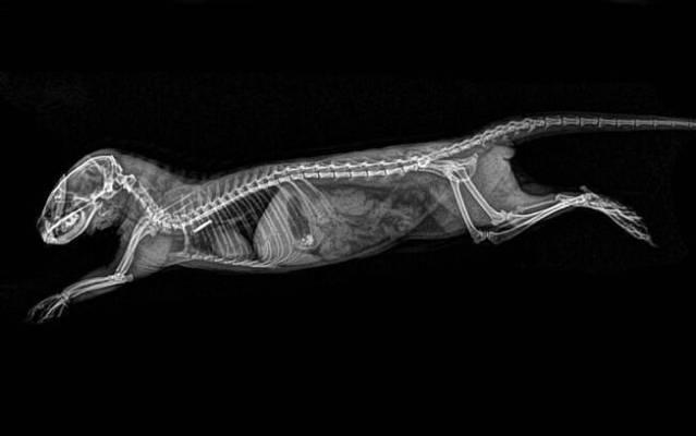 Raio-x de mangusto-anão divulgado pelo Oregon Zoo. Foto: Divulgação/Oregon Zoo