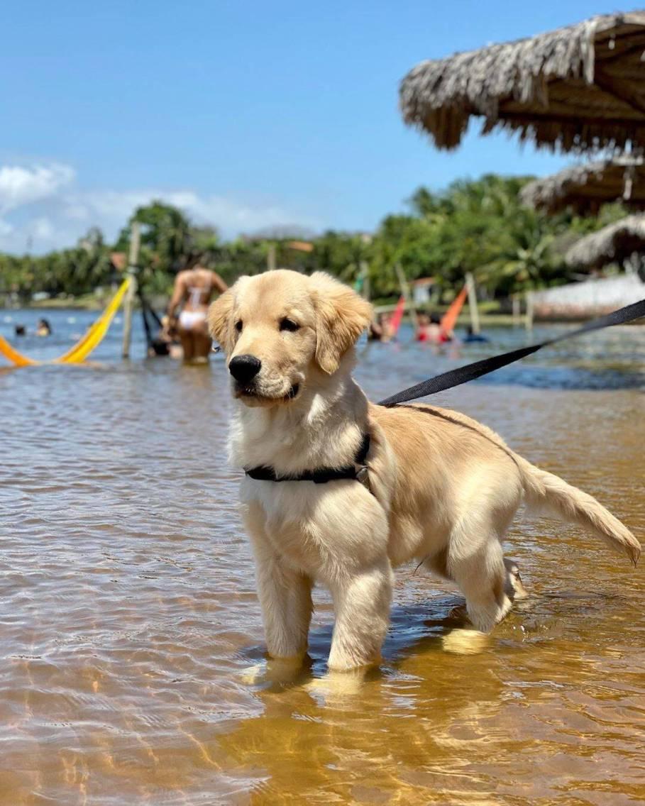 Bento, golden retriever que gosta de escorregar na praia. Foto: Instagram/ Life With Bento