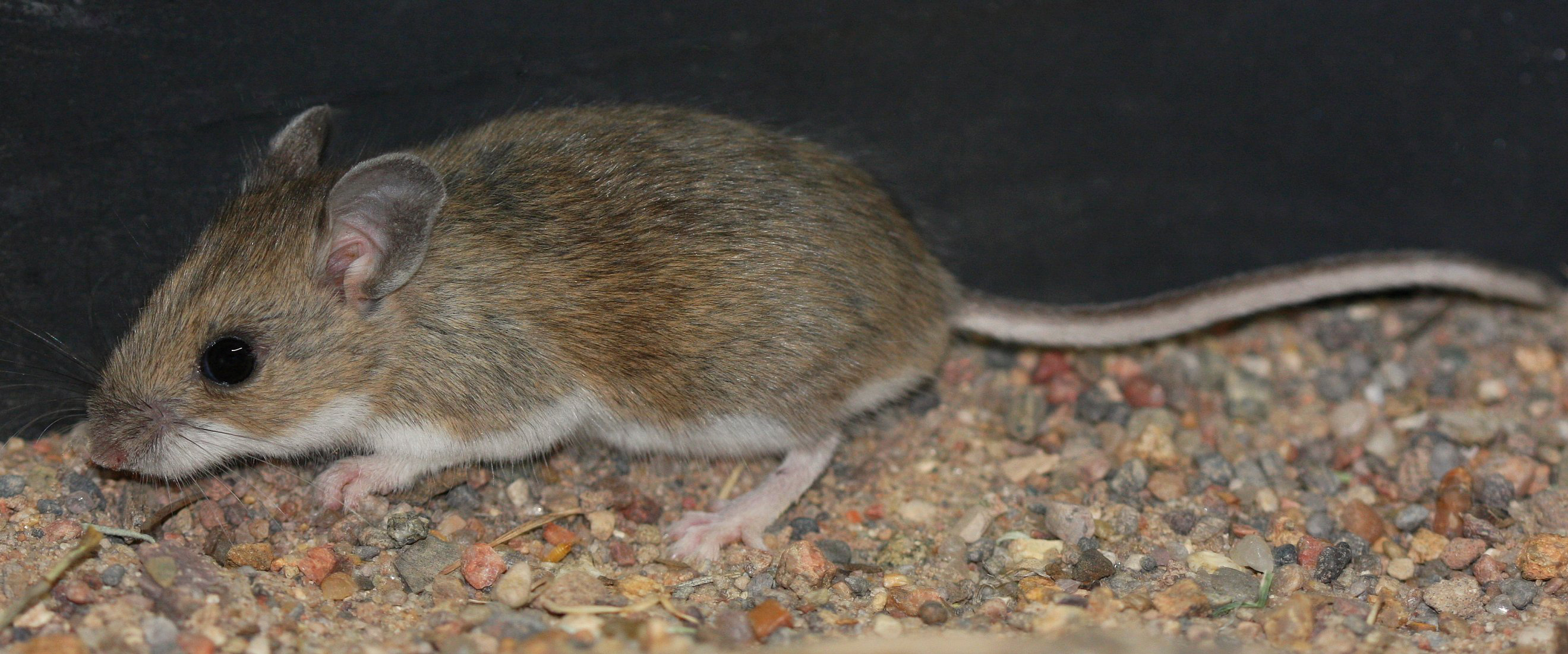 Rodents, your car, and hantavirus: What to do if you suspect ...