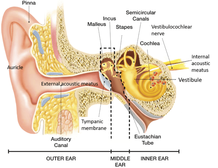 External Ear Auricle and External acoustic meatus