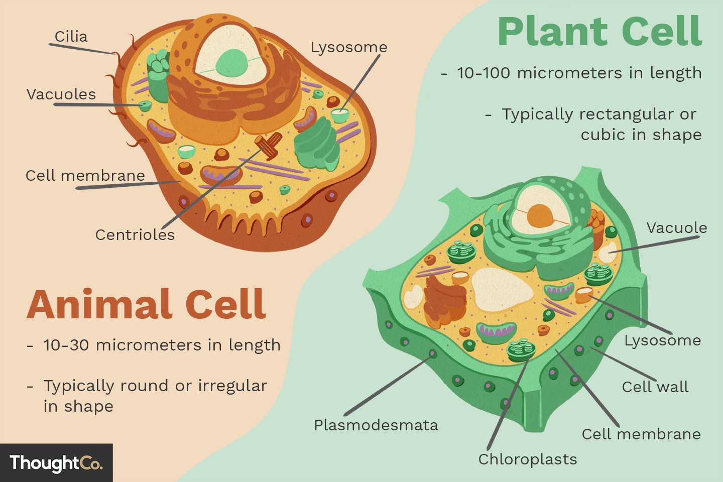 hight resolution of cell label diagram fungu  [ 1440 x 960 Pixel ]