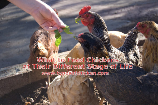 What To Feed Chickens At Their Different Stage Of Life