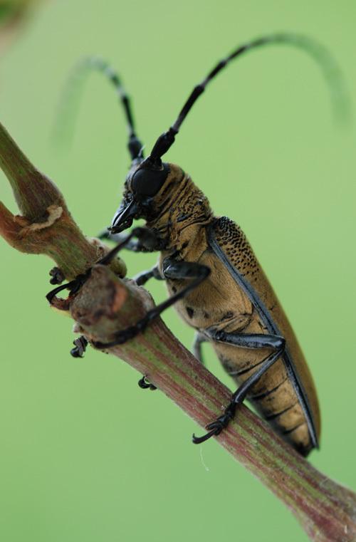 食用菌害蟲-桑天牛的識別與防治 - 阿里巴巴專欄