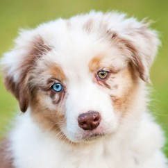 Canine Eye Diagram Right Wiring Legend Heterochromia Two Different Colored Eyes Allaboutvision Com