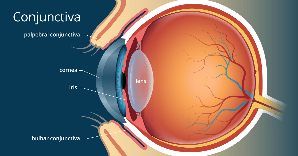 parts of the eye diagram and function 2005 ford stereo wiring conjunctiva definition detailed illustration