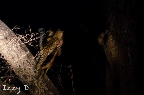 Leopard6OctIzzy11.162845.jpg