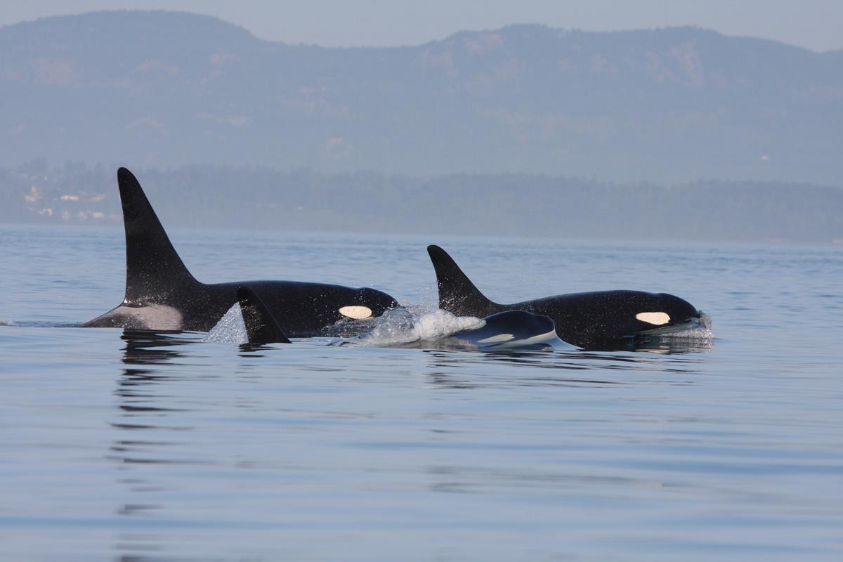 Southern Resident orcas. Image: CWR/Rob Lott
