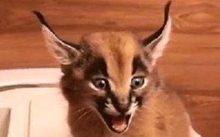 小狞猫原来是这样叫的。。