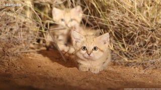 卡拉哈里拍摄到的机灵可爱地野生沙漠小猫咪