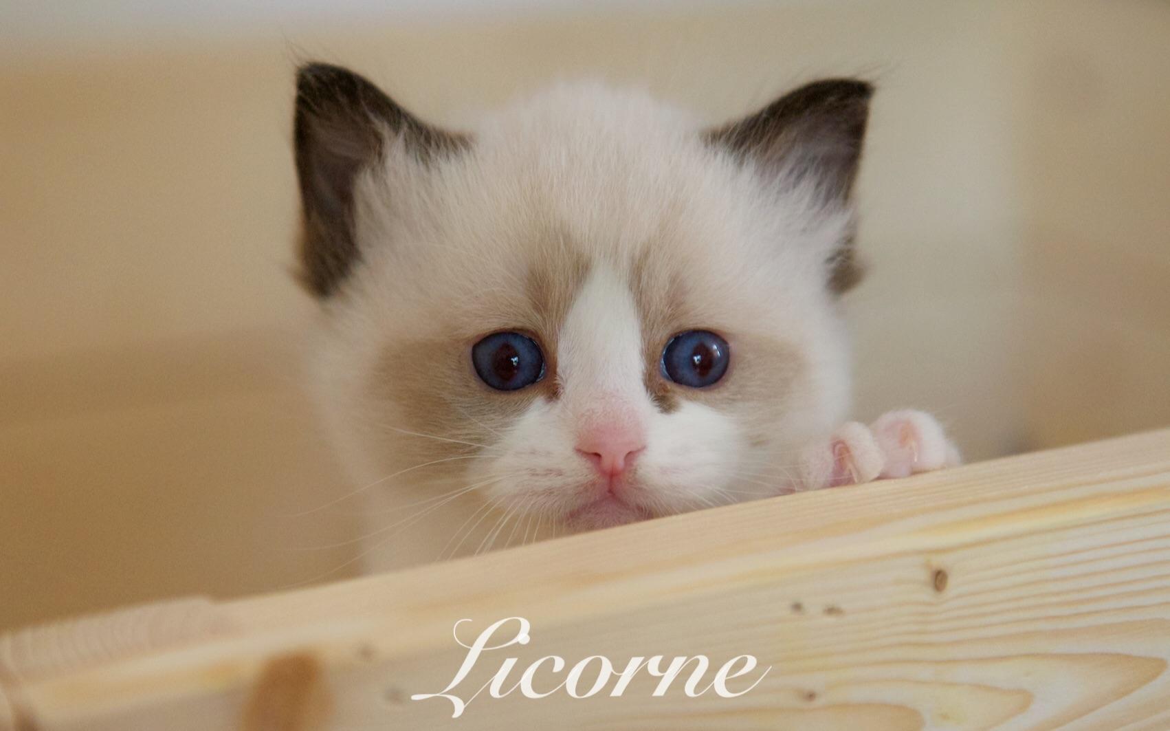 【布偶貓】小奶貓之玩耍的日常(水瓶座寶寶)_嗶哩嗶哩 (゜-゜)つロ 干杯~-bilibili