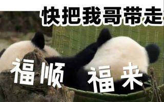 福顺福来吊床大战(大熊猫)20190831