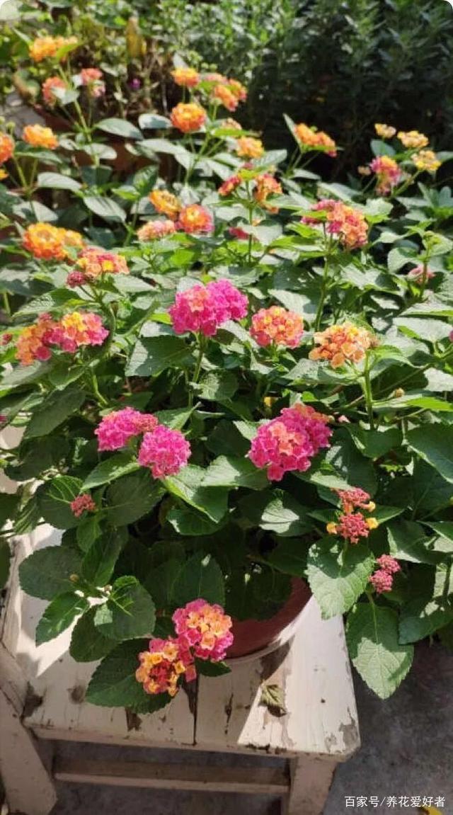 推薦一花多色的5種植物。繽紛多姿 - 每日頭條