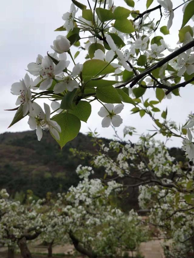 夢在初見「白玉蘭花、榆葉梅花、梨花」的美 - 每日頭條