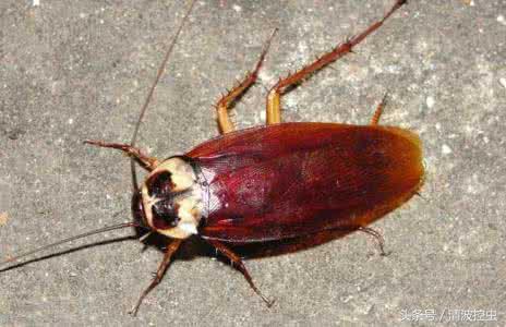 蟑螂怎麼消滅?這些有效的滅蟑螂方法90%的人不知道! - 每日頭條