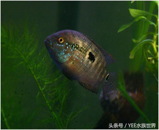 走近銀河星鑽魚(傑克鄧普西魚) - 每日頭條