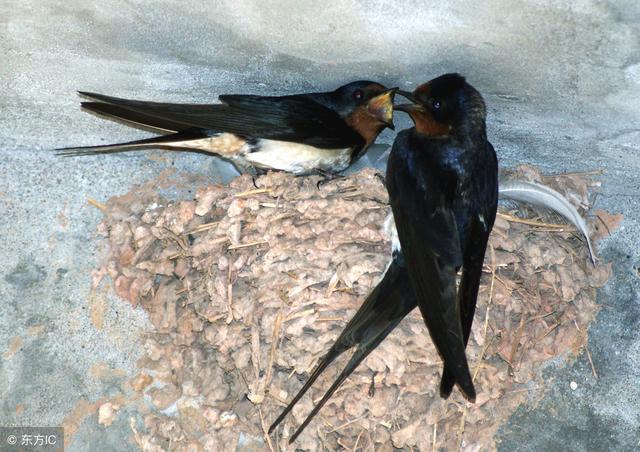 農村燕子受保護。皆因它們是益鳥 - 每日頭條