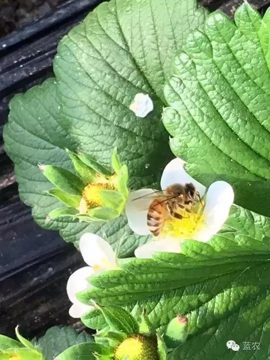 授粉蜜蜂的正確護理方式,它們好,你的草莓就好。 - 每日頭條
