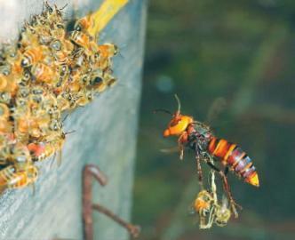 清流一農夫養馬蜂的「毒」門秘籍 - 每日頭條