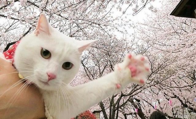2018櫻花和貓的圖片唯美邂逅 - 每日頭條