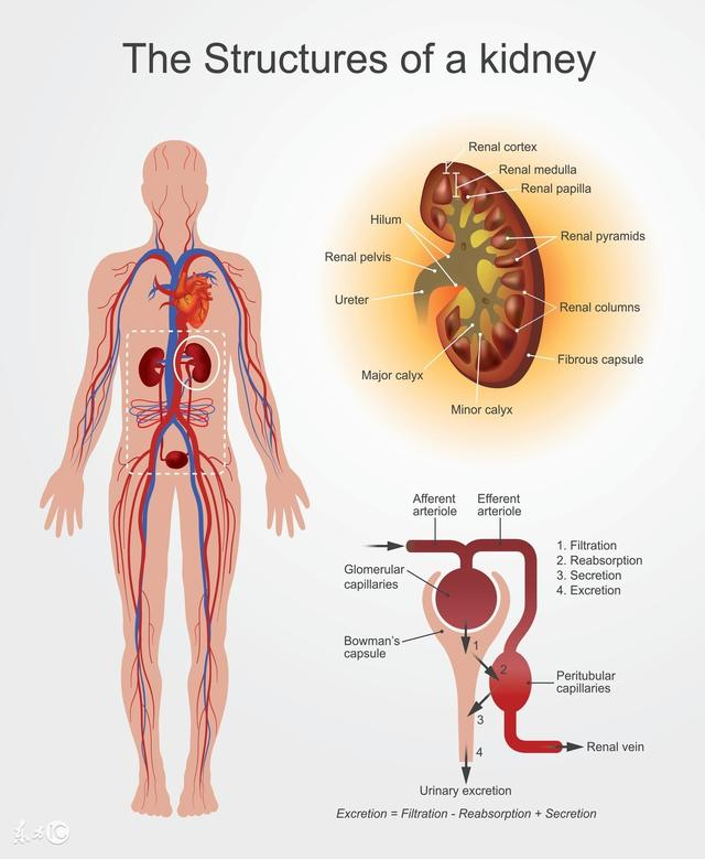 什麼是腎陽虛?什麼是腎陰虛? - 每日頭條