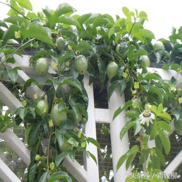百香果樹生長快,掛果率高盆栽百香果盆景栽培技術 - 每日頭條