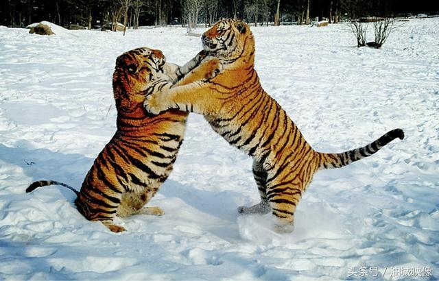 東北虎:打鬥兇猛「叢林之王」,人們要遵守規則,才能和諧共處 - 每日頭條