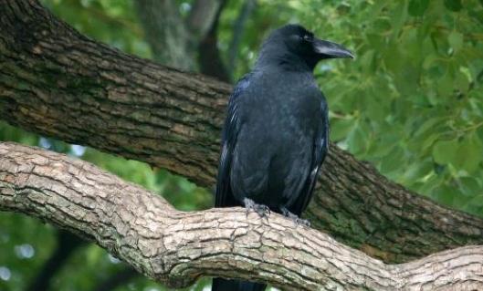 日本烏鴉滿天飛 因它們太過聰明為捕捉想盡辦法 - 每日頭條