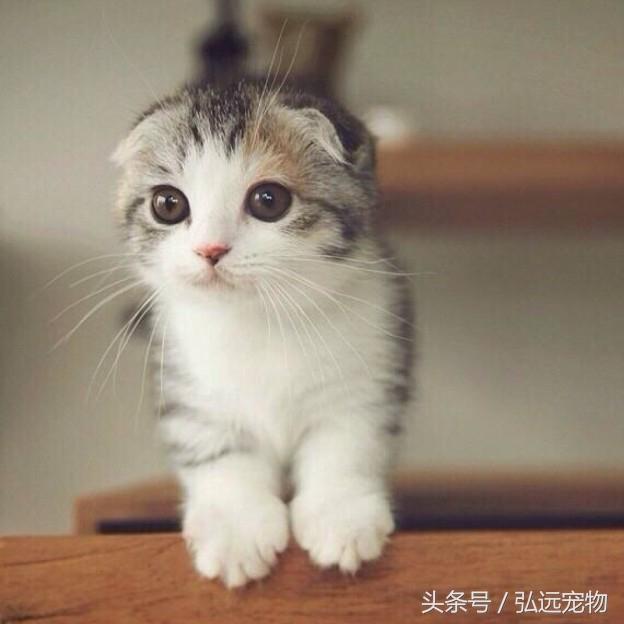 所有的折耳貓真的都有遺傳病嗎 - 每日頭條