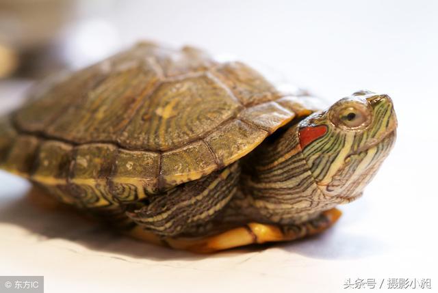 想養個小寵物。烏龜易養。方法交給你 - 每日頭條