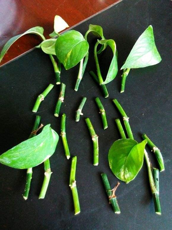 綠蘿的種植。非常簡單。新手就可以種的很好哦! - 每日頭條