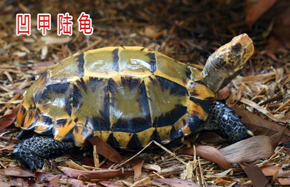 你要的陸龜,都在這兒啦!(史上最全陸龜品種解析) - 每日頭條